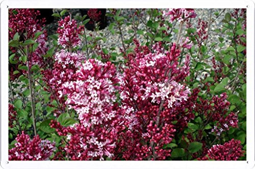 Preisvergleich Produktbild Metall Poster Blechschilderplatte Blechschild Plakat Flower Tin Sign Lilac Blossoms Twigs Herbs Leaves Spring 38098 Retro Weinlese Kunstdrucke by hamgaacaan (20x30cm)