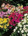 Lemo Gartendesign Japanische Wunderblume (Mirabilis jalapa, 6 Stück) von Lemo Gartendesign - Du und dein Garten