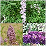 3 Schmetterlingsflieder, Buddleja alternifolia, empire blue, black knight 15-20 cm Topfpflanze