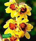 BALDUR-Garten Chinesische Winterblüte, 1 Pflanze Chimonanthus praecox
