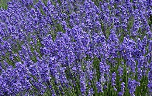 50-graines-semences-fleurs-vraie-lavande-violet-bleu-tige-gris-argent-pour-charmer-les-papillons-abe