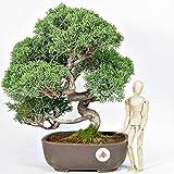 ENEBRO ITOIGAWA BONSAI h.36 - Juniperus chinensis itoigawa
