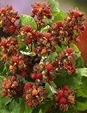 Japanische Weinbeere / Rotborstige Himbeere (Rubus phoenicolasius), 1 Pflanze