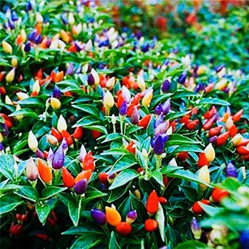 """Tomasa Samenhaus- Garten Ungarischer Paprika""""Gypsy""""F1,Paprikapflanzen/Gemüsepflanzen Blooms Farbige Pfeffer Samen"""