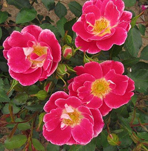 flash-gordon-4lt-potted-floribunda-garden-rose-bush-carmine-pink-with-white-edging-fragrant