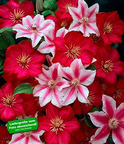 BALDUR-Garten Clematis