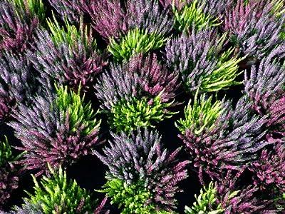 Calluna vulgaris, Winterheide dreifarbig, Besenheide (ohne Dekokorb) von Weselerkräuterparadies auf Du und dein Garten