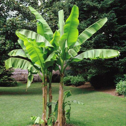 Bananenbaum Musa Basjoo - 4 bäume