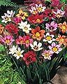 Sparaxis gemischt Zigeunerblume Blumenzwiebeln von Blumenhandel Ullrich bei Du und dein Garten