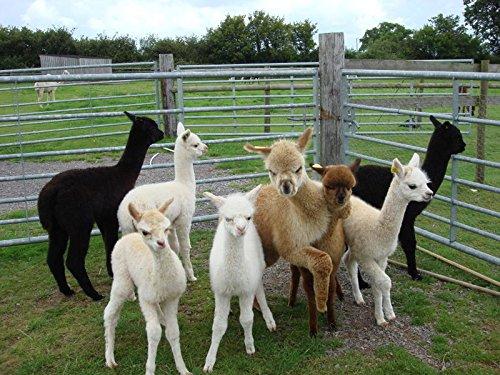 Alpaca-Bed-Socks-Thick-soft-and-Warm-90-Alpaca-Wool
