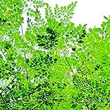25 x Moringa oleifera Wunderbaum Meerrettichbaum Herkunft aus Thailand MO1
