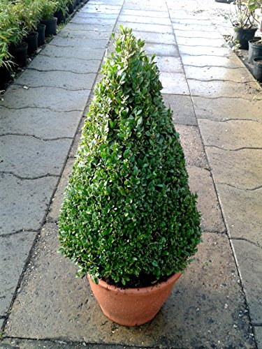 Buchsbaum-Kegel - Buxus sempervirens arborescens im Topf 70-80 cm + Dünger