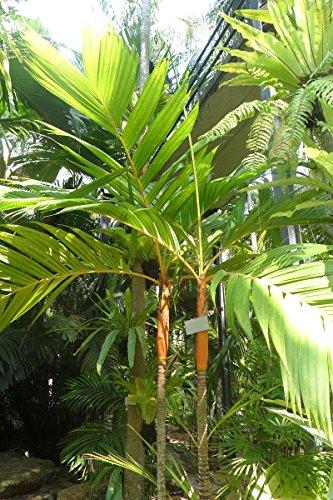 Areca Palme -GOLDFRUCHTPALME- 10 Samen -Schöne Zimmerpflanze-