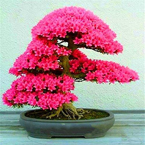 Grande vente! 10 Pieces / pack Belles Graines Sakura Graines vivace Fleurs de jardin Dans Bonsai