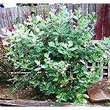 PLAT FIRM GERMINATIONSAMEN: 100 Samen: Ananas Guave Baum Samen, Feijoa sellowiana