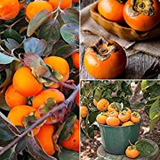 M-Tech Gardens Rare Persimmon Tropical Fruit Seeds for Growing (5 Seeds Pack)
