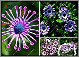 500pcs / bag Daisy robuste Pflanzen exotische Zierpflanzen Blumen-Samen Zierpflanze Gerbera, Bonsai-Pflanze Hausgarten