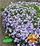 BALDUR-Garten Blauer Teppich-Phlox, 3 Pflanzen Polsterphlox Polster-Flammenblume Polsterstauden Teppichphlox Moosphlox mehrjährig Phlox subulata