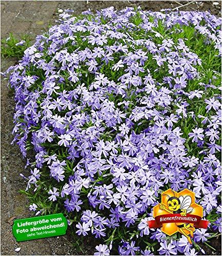 BALDUR-Garten Blauer Teppich-Phlox, 3 Pflanzen Polsterphlox Polster-Flammenblume Polsterstauden Teppichphlox Moosphlox mehrjährig Phlox subulata -