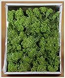 Muschio lichene verde scuro 400 gr
