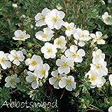 Fingerstrauch 'Abbotswood' – Potentilla – Dasiphora fruticose Strauch mit weißen Blüten als Hecke oder als Bodendecker – Dauerblüher von Garten Schlüter - Pflanzen in Top Qualität