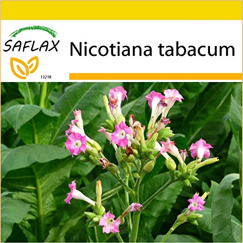 SAFLAX - Anzucht Set - Echter Virginischer Tabak - 250 Samen - Nicotiana tabacum