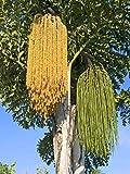 Caryota urens, leicht winterharte Palme, sehr seltene Gattung, 10 frische Samen