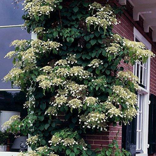 Grüner Garten Shop Kletterhortensie, Hydrangea petiolaris, große weiße Blüten, ca. 30 cm hoch, im 1,5 Liter Topf
