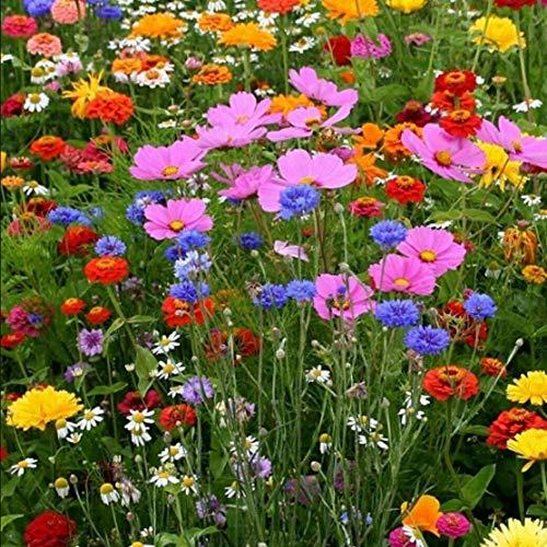 QHYDZ Seeds - Semillas de flores silvestres Raras, Mezcla Flores Silvestres para Abejas, Semillas Perennes Resistente al Frío, 10g