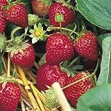 Grüner Garten Shop Erdbeere Sorte Ostara, Erdbeerpflanze, immertragend, sehr aromatisch, für Frischverzehr 10-er Tray