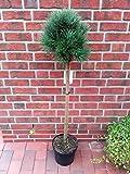 Pinus sylvestris Watereri - Stämmchen, Silberkiefer, Strauch - Wald - Kiefer, Höhe: 120-130 cm + Dünger