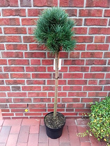 Pinus sylvestris Watereri - Stämmchen, Silberkiefer, Strauch - Wald - Kiefer, Höhe: 130-140 cm + Dünger