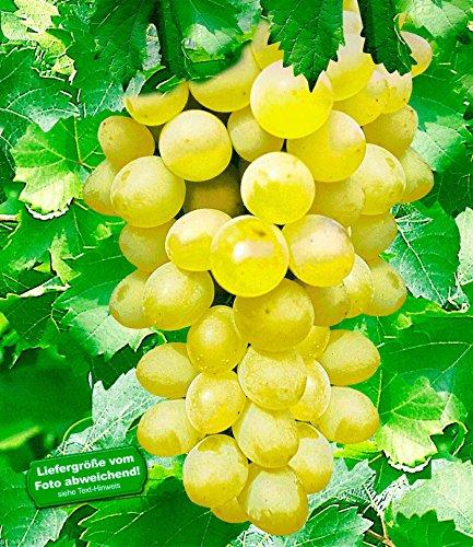 baldur-garten-kernlose-tafel-trauben-new-yorkr-weinreben-1-pflanze-vitis-vinifera