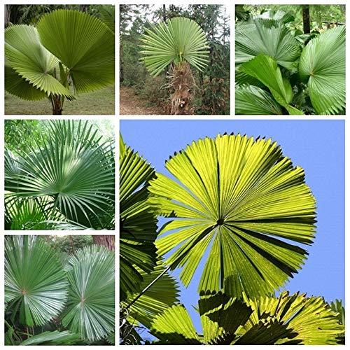Pinkdose 10 stücke Frische Licuala grandis Palm Tropische Immergrüne Fächerförmige Bonsai Topf Tropische Zier Baum Pflanze sementes semillas