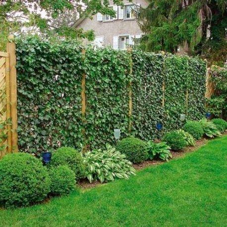 Best pianta rampicante edera pianta adulta muri e for Recinzione economica fai da te