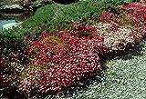 50 Samen - Saxifraga Moosigen Seeds
