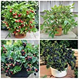 #10: Primrose Gardens Dwarf Potted Fruit Seeds Combo - Strawberry Blackberry Mulberry Blueberry Seeds NewCombo#3