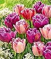"""Tulpen-Mix""""Lemon & Purple Delight"""",10 Zwiebeln von Baldur-Garten - Du und dein Garten"""