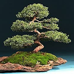 Enebro chino (Juniperus chinensis) - 30 semillas