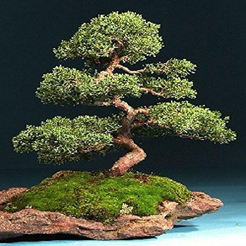 tropica-bonsai-ginepro-cinese-juniperus-chinensis-30-semi