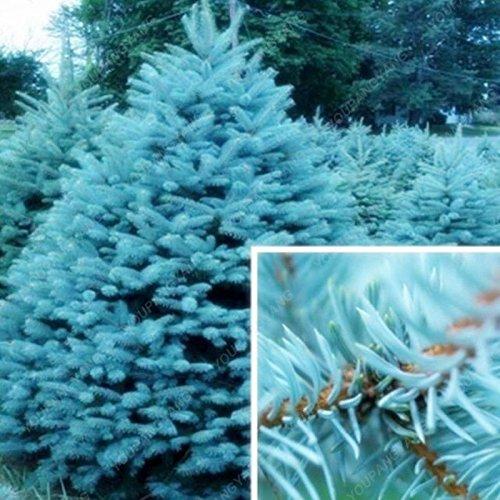 50 graines Arbre à feuilles persistantes Rare épinette bleue du Colorado Graines PICEA PUNGENS GLAUCA de bonnes pour la culture en pot planteurs de pot de fleurs noires