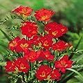 Einfache Freesien rot von Meingartenshop bei Du und dein Garten