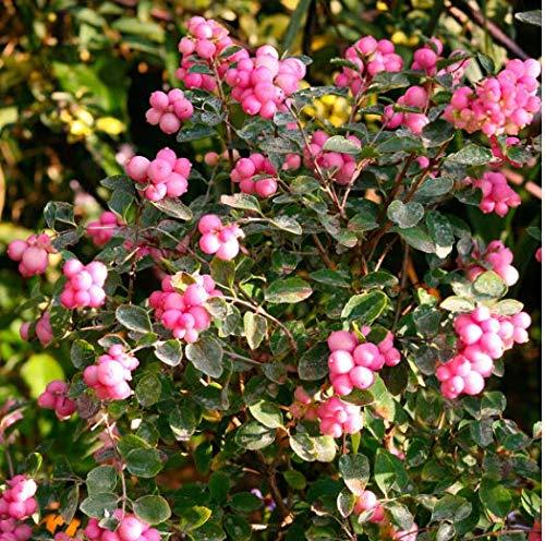 Tomasa Gartensamen- 100 Stück Schneebeere Samen Magical Candy Rosa Weiße Schneebeere winterhart mehrjährig exotische samen Früchte Schneebeer- Bio Obstpflanzen - Schönheits-frucht