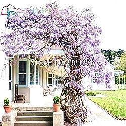 Shopmeeko 10 Stücke Glyzinien Pflanzen Schöne Bonsai Für Diy Hausgarten Echte und frische Blumen Pflanzen Glyzinien Sinensis Baum Diy Plant Sement: Hellgelb