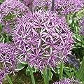 """Allium """"Violet Beauty"""" Mehrjähriger Zierlauch Kugel Lauch mit Purpur Violett Blüten von Gardens2you bei Du und dein Garten"""
