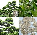 10x Elm Baum Samen Chinesisch Baum Bonsai Ulmus parvifolia Pflanze Garten #220