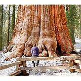 10 semi di SEQUOIA ROSSA della CALIFORNIA: l'Albero più ALTO e LONGEVO del Mondo + Guida Germinazione