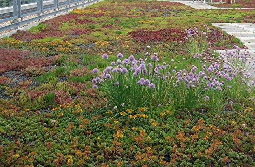 Frische 10000 Samen - Sedum Roof Garden Bodendecker Seed Mix