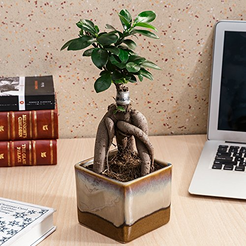 Exotic Green Ficus 3 Year Old Bonsai Plant Choco Brown Pot at amazon