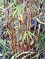 Fargesia jiuzhaigou 1 - Jade Bambus Original ® - verschiedene Größen von GardenPalms auf Du und dein Garten